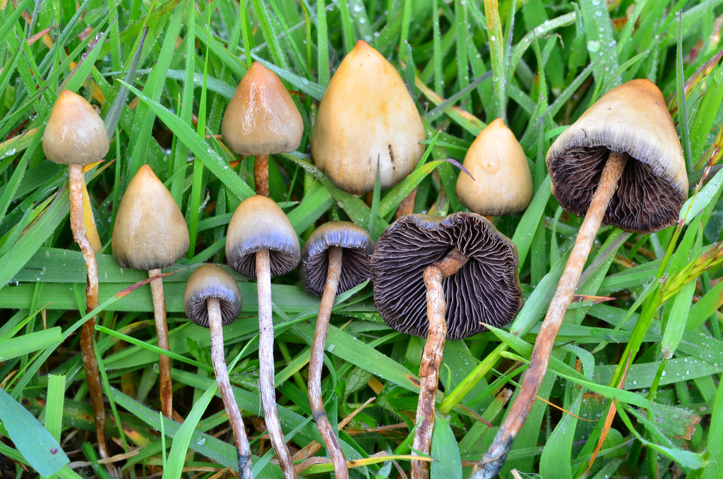 Buy Buy Liberty Caps Mushrooms Online Online From Our Online Store Today At The Best Price. We Ship Our Top Quality Products Worldwide.